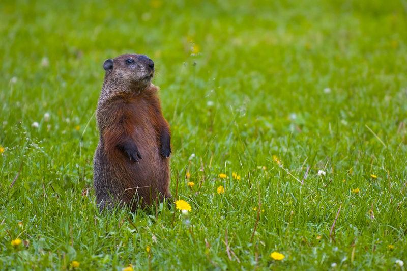 i love groundhogs i love